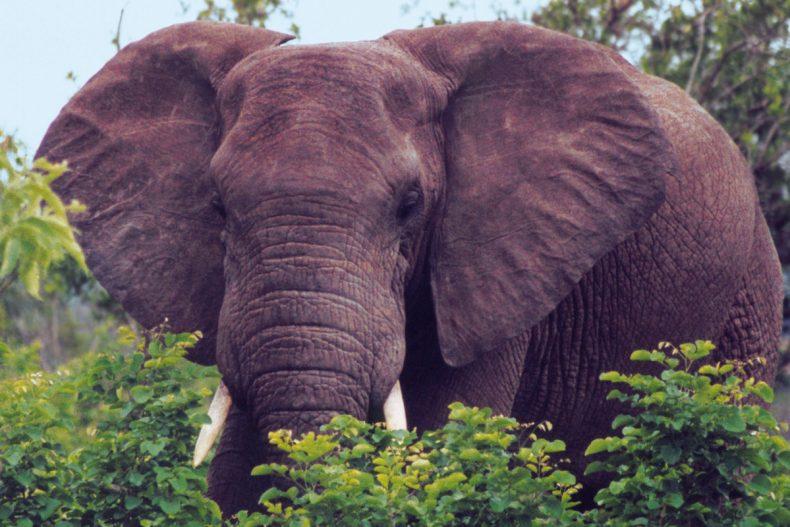 Kruger-Nationalpark/Südafrika –Elefant